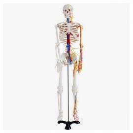 Esqueleto con vasos sangu'neos. 85 cms