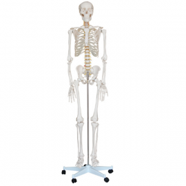 Esqueleto tamano real. 170 cms.