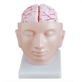 Modelo de cerebro con arterias