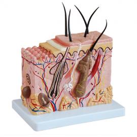 Modelo de secci—n de piel