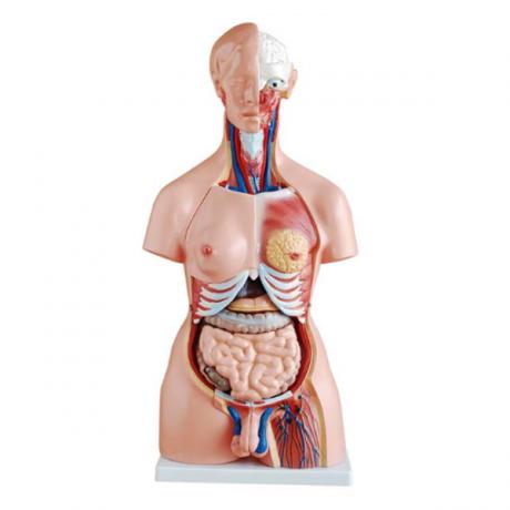 Modelo de torso. 23 partes. 85 cms