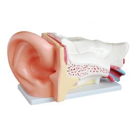 Modelo gigante de oído. 6 partes