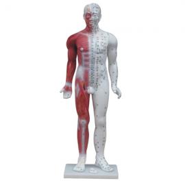 Cuerpo humano con musculos de 84cm de alto